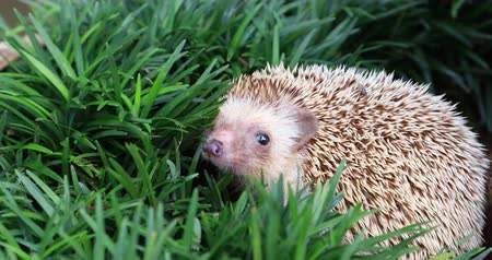Hedgehog, (Scientific name: Erinaceus europaeus) European hedgehog in natural garden habitat with green grass.