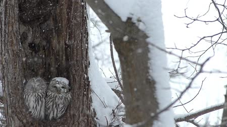 прижиматься : OWL of wind and snow.  7  November 15, 2014 in Japan of the shooting in HokkaidoHow a couple of owl has endured to get along wind and snow in the sinus. Harsh winter in this land visited.