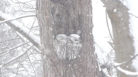 прижиматься : OWL of wind and snow.  4  November 15, 2014 in Japan of the shooting in HokkaidoHow a couple of owl has endured to get along wind and snow in the sinus. Harsh winter in this land visited.