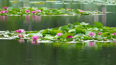 gregarious animal : Lotus flowers and buds that bloom in midsummer of pond.21  August 9, 2015 in Japan of the shooting in HokkaidoTaking pond lotus flowers and buds are clustered on a hot summer day Stock Footage