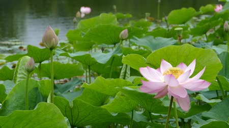 gregarious animal : Lotus flowers and buds that bloom in midsummer of pond.26  August 9, 2015 in Japan of the shooting in HokkaidoTaking pond lotus flowers and buds are clustered on a hot summer day