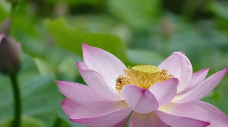 gregarious animal : Lotus flowers and buds that bloom in midsummer of pond.31  August 9, 2015 in Japan of the shooting in HokkaidoTaking pond lotus flowers and buds are clustered on a hot summer day Stock Footage