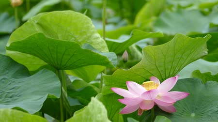 gregarious animal : Lotus flowers and buds that bloom in midsummer of pond.19  August 9, 2015 in Japan of the shooting in HokkaidoTaking pond lotus flowers and buds are clustered on a hot summer day Stock Footage