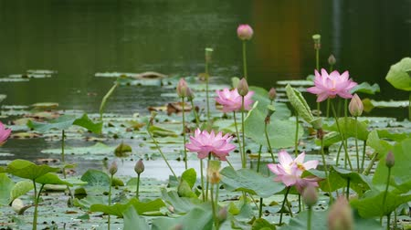 gregarious animal : Lotus flowers and buds that bloom in midsummer of pond.18  August 9, 2015 in Japan of the shooting in HokkaidoTaking pond lotus flowers and buds are clustered on a hot summer day