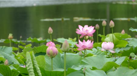 gregarious animal : Lotus flowers and buds that bloom in midsummer of pond.15  August 9, 2015 in Japan of the shooting in HokkaidoTaking pond lotus flowers and buds are clustered on a hot summer day Stock Footage