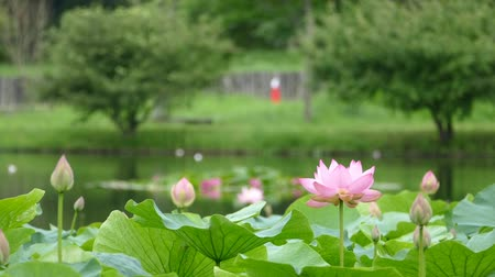 gregarious animal : Lotus flowers and buds that bloom in midsummer of pond.12  August 9, 2015 in Japan of the shooting in HokkaidoTaking pond lotus flowers and buds are clustered on a hot summer day