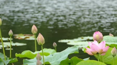 gregarious animal : Lotus flowers and buds that bloom in midsummer of pond.10  August 9, 2015 in Japan of the shooting in HokkaidoTaking pond lotus flowers and buds are clustered on a hot summer day Stock Footage