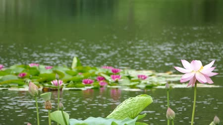 gregarious animal : Lotus flowers and buds that bloom in midsummer of pond.9  August 9, 2015 in Japan of the shooting in HokkaidoTaking pond lotus flowers and buds are clustered on a hot summer day Stock Footage