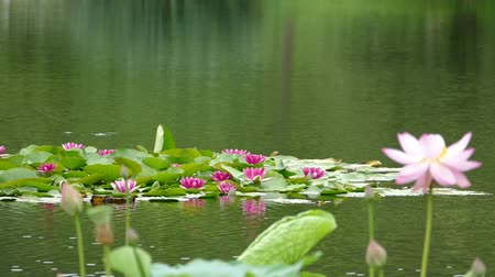 gregarious animal : Lotus flowers and buds that bloom in midsummer of pond.8  August 9, 2015 in Japan of the shooting in HokkaidoTaking pond lotus flowers and buds are clustered on a hot summer day