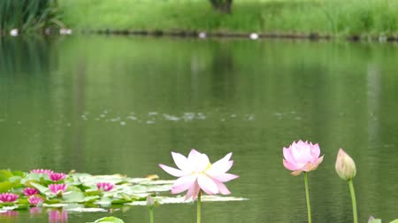 gregarious animal : Lotus flowers and buds that bloom in midsummer of pond.7  August 9, 2015 in Japan of the shooting in HokkaidoTaking pond lotus flowers and buds are clustered on a hot summer day Stock Footage