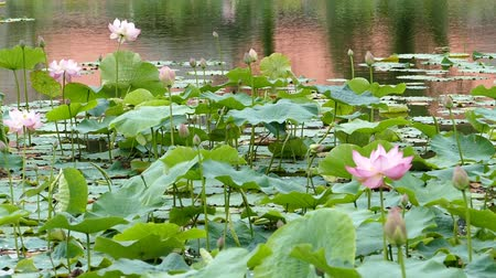gregarious animal : Lotus flowers and buds that bloom in midsummer of pond.2  August 9, 2015 in Japan of the shooting in HokkaidoTaking pond lotus flowers and buds are clustered on a hot summer day Stock Footage