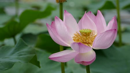 gregarious animal : Lotus flowers and buds that bloom in midsummer of pond.38 August 9, 2015 in Japan of the shooting in HokkaidoTaking pond lotus flowers and buds are clustered on a hot summer day Stock Footage