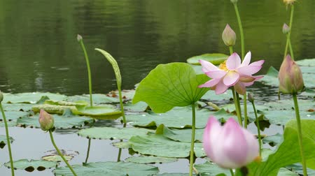 gregarious animal : Lotus flowers and buds that bloom in midsummer of pond.37  August 9, 2015 in Japan of the shooting in HokkaidoTaking pond lotus flowers and buds are clustered on a hot summer day