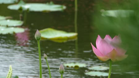 gregarious animal : Lotus flowers and buds that bloom in midsummer of pond.35  August 9, 2015 in Japan of the shooting in HokkaidoTaking pond lotus flowers and buds are clustered on a hot summer day Stock Footage