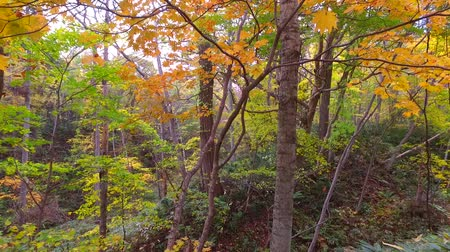 еще : Landscape of autumn leaves of primeval forest that was captured by the camera stabilizer  7  October 18, 2015 to the shooting in JapanAutumn scenery of the park of primeval forest of undeveloped. Стоковые видеозаписи