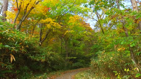еще : Landscape of autumn leaves of primeval forest that was captured by the camera stabilizer  3  October 18, 2015 to the shooting in JapanAutumn scenery of the park of primeval forest of undeveloped.