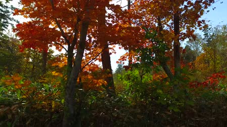 еще : Landscape of autumn leaves of primeval forest that was captured by the camera stabilizer  2  October 18, 2015 to the shooting in JapanAutumn scenery of the park of primeval forest of undeveloped. Стоковые видеозаписи