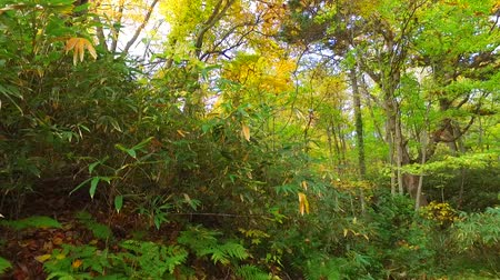еще : Landscape of autumn leaves of primeval forest that was captured by the camera stabilizer  1  October 18, 2015 to the shooting in JapanAutumn scenery of the park of primeval forest of undeveloped.