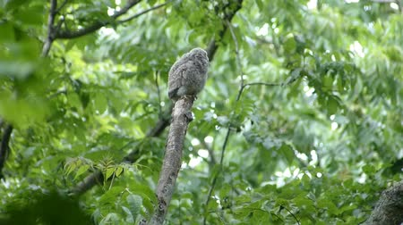 pelyhes : Chicks owl to assimilate to fresh green. Landscape of Japans forest park of spring.