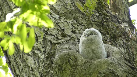 pelyhes : Baby owl newborn showed a face from the sinus. Landscape of Japans forest park of spring.