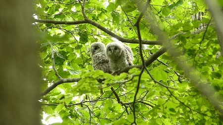 pelyhes : Fresh green owl chick that jumped out to the world. Landscape of Japans forest park of spring.