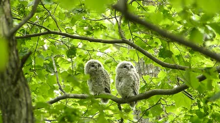 jumped : Fresh green owl chick that jumped out to the world. Landscape of Japans forest park of spring.
