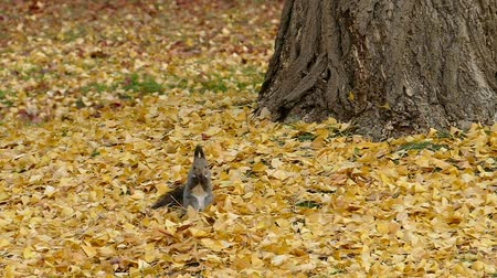 In the fallen leaves in late autumn squirrel  1a: high speed photography