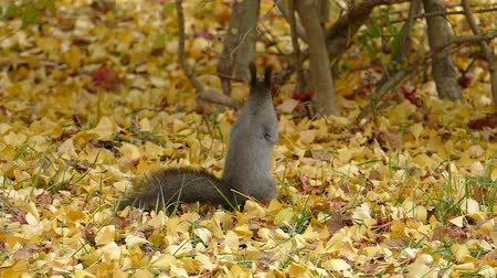 In the fallen leaves in late autumn squirrel  3A: high speed photography