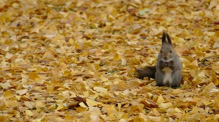 In the fallen leaves in late autumn squirrel  4A: high speed photography Стоковые видеозаписи