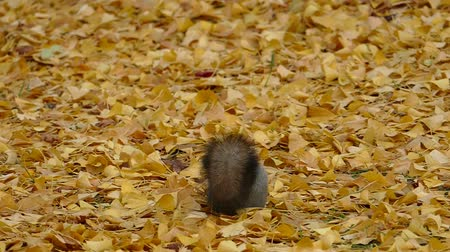In the fallen leaves in late autumn squirrel  5a: high speed photography