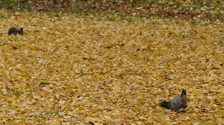 In the fallen leaves in late autumn squirrel  6a: high speed photography Стоковые видеозаписи