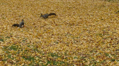 In the fallen leaves in late autumn squirrel  7a: high speed photography
