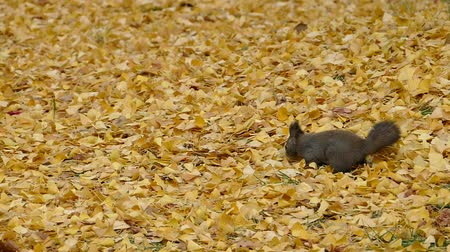 белка : In the fallen leaves in late autumn squirrel  6: high speed photography