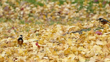 Birds come looking for food in the autumn leaves  1a: high speed photography