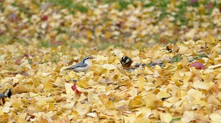 Birds come looking for food in the autumn leaves  2: high speed photography