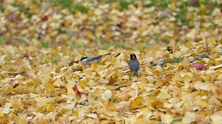 Birds come looking for food in the autumn leaves  3A: high speed photography