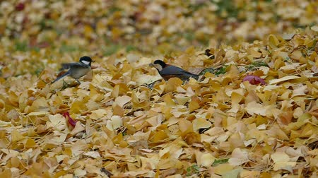 Birds come looking for food in the autumn leaves  4A: high speed photography