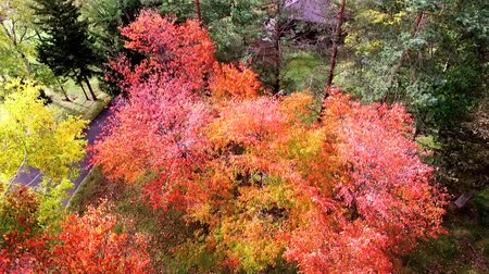 dead tree : Aerial photography: fall of brilliantly colored foliage trees Lake Stock Footage