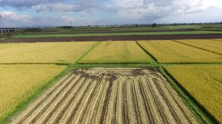 japan : Using a drone aerial photography: landscape of rice harvest season  14