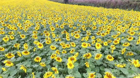 girassóis : Drones in aerial photography: green and yellow autumn sunflower field  21 Vídeos