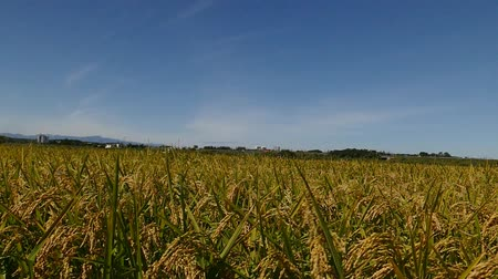 Rice harvest before autumn sky and the wind shakes