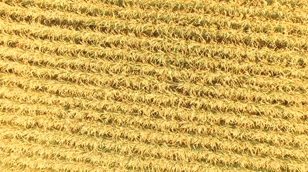fruitful : Multicopter in aerial photography: small golden rice Stock Footage