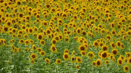 gregarious animal : Summer breeze and sunflowers
