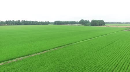 аккуратный : Aerial view of multicopter, rice field scenery