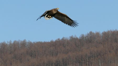cauda : Of the Whitetail an Eagle  super slow motion Stock Footage