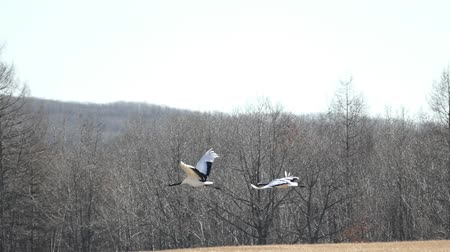 Natural monument of Red-crowned cranes
