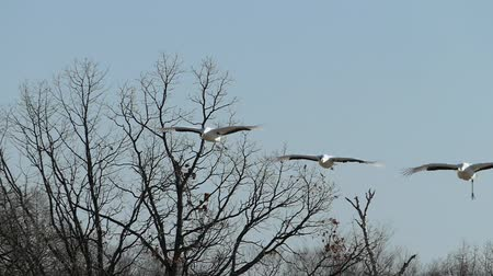 Red-crowned cranes flying  super slow motion