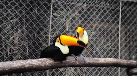 toucan : Toucan play in the cage.