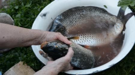 čištěný : Womans hand pulls a big carp from a bowl. Three fresh carp in a large bowl with water