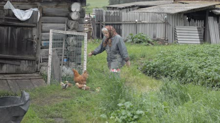 variegado : Old grandmother walks a motley chicken with small chickens. A woman in a country garden Stock Footage
